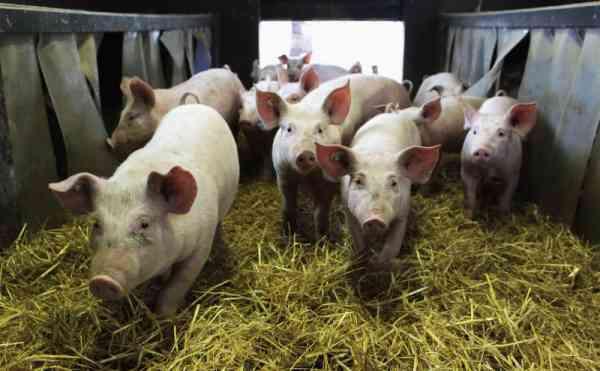 Cazuri de pestă porcină africană, confirmate la porci domestici din exploatații de pe raza orașului Sângeorz-Băi