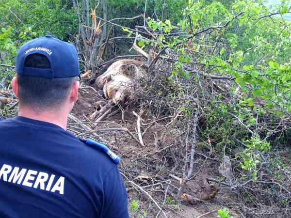 VIDEO: Ursoaică, prinsă într-un gard de sârmă, în Ardan! Cum au intervenit autoritățile